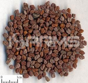 Fenugreek-PE-Extract