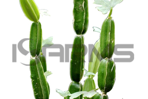 Cissus-Quadrangularis-extract