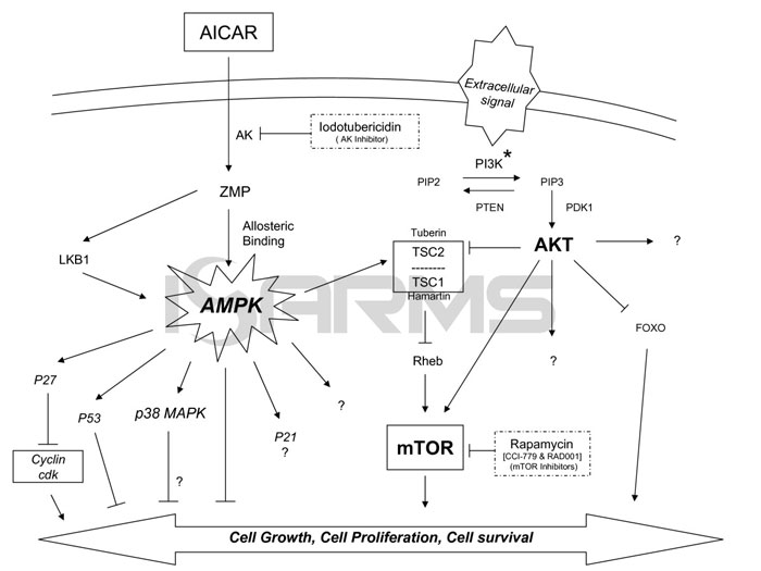 Proposed mechanism of action for AICAR in human leukemia ALL cells